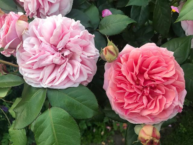 Růže…