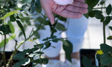 Narodeninové ruže