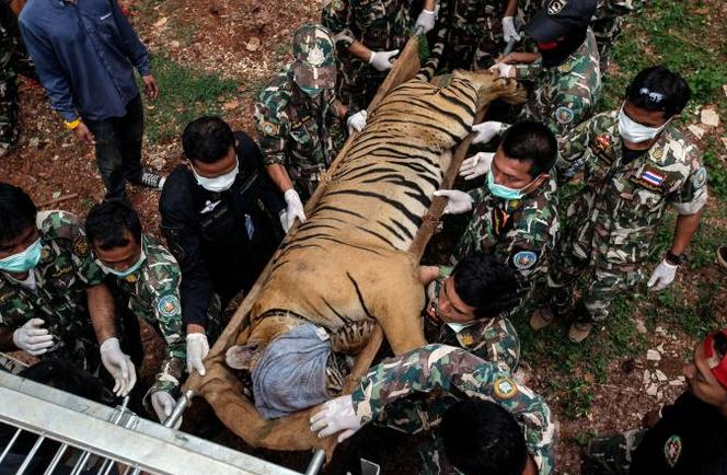 86 tygrů zachráněných z buddhistického chrámu v Thajsku zahynulo ve vládním zařízení.