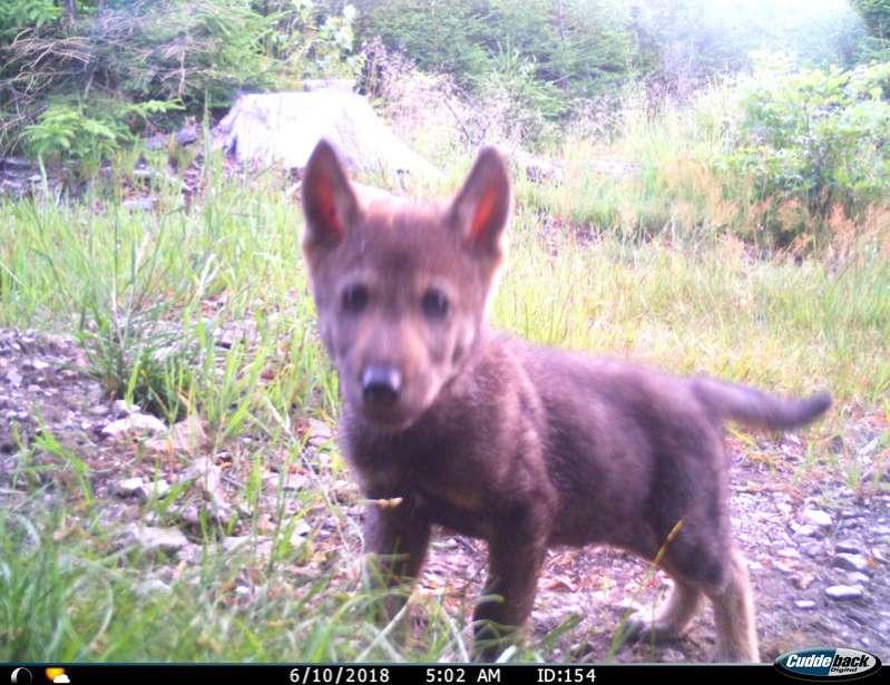 Vlci v pohraniční oblasti Broumovska letos již počtvrté vyvedli mláďata. Smečce se u nás daří.
