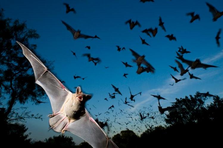 Nová analýza odhalila mnoho způsobů, jak netopýři loví své jídlo, jak nadaní jsou tito noční letci.