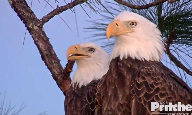 Hnízdo orlů bělohlavých Harriet a M15 opět online!