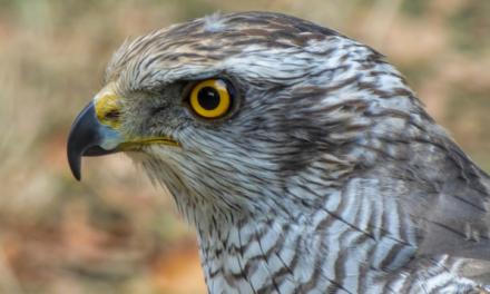 V australském hnízdě se vylíhla mláďata sokolů stěhovavých